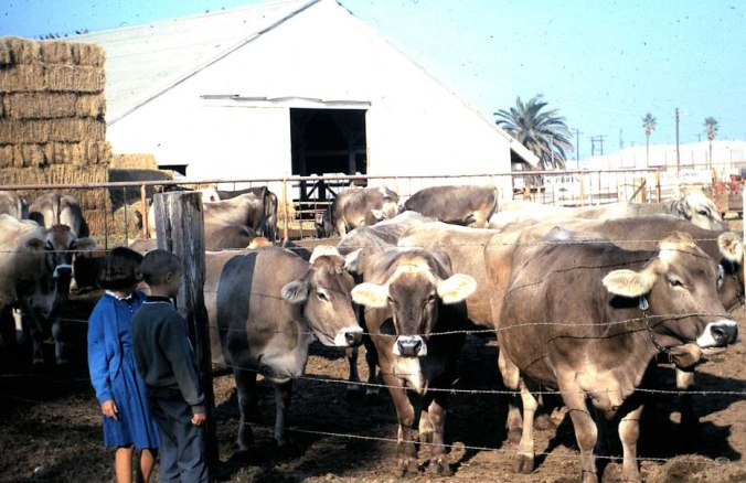 sai cattle being examined by bob  kathy hedges